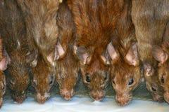Sacred rats drinking milk Royalty Free Stock Photography