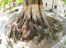 Sacred sequoia in Bachkovo Monastery stock images