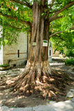Sacred sequoia in Bachkovo Monastery royalty free stock images