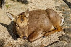 Sacred sika deer lying at the park stock images