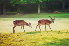 Sacred sika deers at Nara park in the morning Royalty Free Stock Images