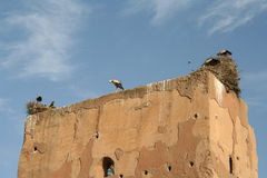 Sacred storks in Marrakech. Sacre storks hatching in ruin i Marrakech, Morocco Royalty Free Stock Photography