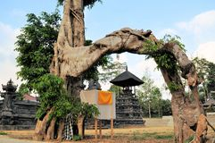 Sacred tree at Country temple in Bali Royalty Free Stock Photography