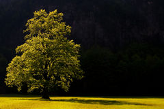 A sacred tree in logarska dolina slovenia. A tree shine by late afternoon sun light in the valley of logarska dolina slovenia royalty free stock photos