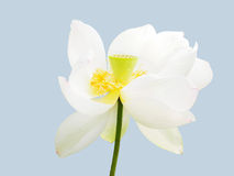 Sacred white lotus. A blooming white lotus on isolation Royalty Free Stock Photography