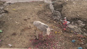 Sacred young cow on polluted Ganges river coast and boats, Varanasi, India stock video footage