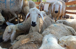 Sacrificial sheep for festival of sacrifices in muslim countries, aid mubarak Stock Photo