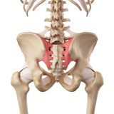 The sacroiliac ligament. Medical accurate illustration of the sacroiliac ligament Royalty Free Stock Photo