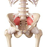 The sacroiliac ligament stock illustration