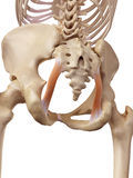 The sacrotuberous ligament Royalty Free Stock Image