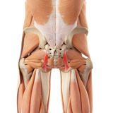 The sacrotuberous ligament. Medically accurate illustration of the sacrotuberous ligament Royalty Free Stock Photos