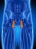 The sacrotuberous ligament. Medically accurate illustration of the sacrotuberous ligament Royalty Free Stock Images