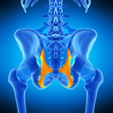 The sacrotuberous ligament. Medically accurate illustration of the sacrotuberous ligament Royalty Free Stock Photo