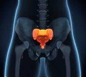 Sacrum Bone Anatomy. Illustration. 3D render Stock Image