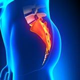 Sacrum Bone Anatomy pain. With highlighted zone - pain concept Stock Photo