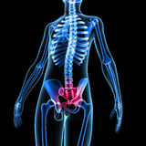 Sacrum. Is a collection of sciencepics Royalty Free Stock Photo