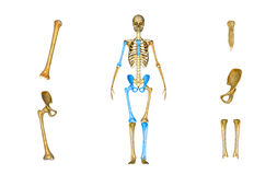Sacrum, Humerus, Femur, Tibia and Fibula, pelvic or hip. The skeletal system includes all of the bones and joints in the body. Each bone is a complex living stock photography