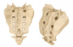 Sacrum : Medically accurate. 3D illustration Stock Photos