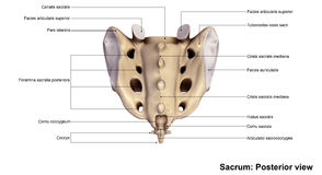 Sacrum Posterior view. It also articulates with the hip bones. The sacrum has a base, an apex, and three surfaces a pelvic, dorsal and a lateral surface. The Stock Image
