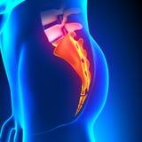 Sacrum-Steißbein-Knochen-Anatomie Stockfoto