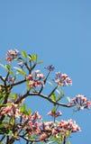 Sacuanjoche rose Images libres de droits