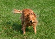 Sacudida del perro Fotografía de archivo