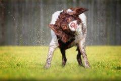Sacudida del perro mojado Imagen de archivo libre de regalías