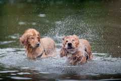 Sacudidas del perro perdiguero de oro en agua Imagen de archivo libre de regalías