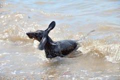 Sacudidas y natación del perro basset en el mar con el palillo imagen de archivo libre de regalías