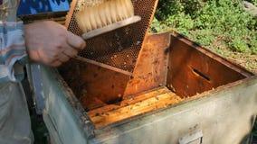 Sacudiendo las abejas de un marco en la colmena durante la miel cosechan almacen de metraje de vídeo