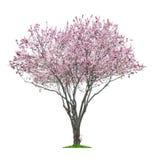 桃红色sacura树 库存照片