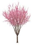 桃红色sacura树 免版税库存照片