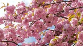 Sacura-Blüten-Mehrfachverzweigungen stock video