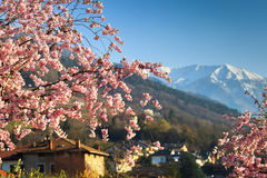 Sacura blooming in alps Stock Images