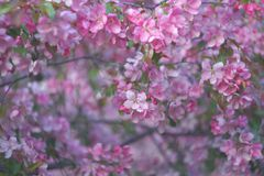 Sacura, Blooming Garden Background, Pink Apple Tree, Selective focus Stock Photography