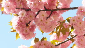 Sacura Blossom on Blue Sky Background. Branches of Sakura Japanese Cherry Blossoms With Pink Flowers and Delicate Petals Swaying in the Wind on Blue Sky stock video