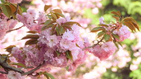 Sacura Blossom on Green Background. Branches of Sakura Japanese Cherry Blossoms With Pink Flowers and Delicate Petals Swaying in the Wind on Green Background stock video footage