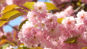 Sacura Blossom With Green Leaves Extreme Closeup. Branches of Sakura Japanese Cherry Blossoms With Pink Flowers and Delicate Petals Swaying in the Wind With stock footage