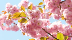 Sacura Blossom on Summer or Spring Sunshine Sky Background stock video footage