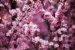 Sacura cor-de-rosa Imagens de Stock