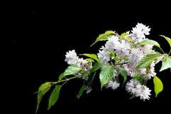 Sacura fleurit sur le fond noir - fleurs de floraison colorées de ressort des buissons et des arbres Photographie stock