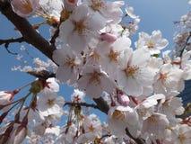 Sacura flowers. Cherry sacura flowers on sky background Stock Photo