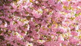 Sacura Japanese Cherry Blossom stock video footage