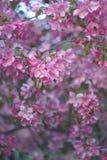 Sacura, Kwitnie Ogrodowego tło, Różowa jabłoń, Selekcyjna ostrość obrazy royalty free