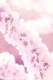 Sacura o ciliegio di fioritura Fotografia Stock
