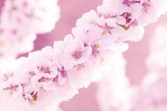 Sacura o ciliegio di fioritura Immagini Stock