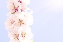 Sacura o ciliegio di fioritura sopra cielo blu Fotografia Stock Libera da Diritti