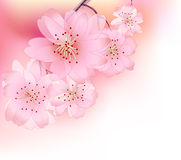 Sacura spring Royalty Free Stock Images