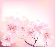 Sacura spring cherry tree Stock Photos