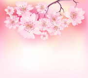 Sacura spring cherry tree Stock Images